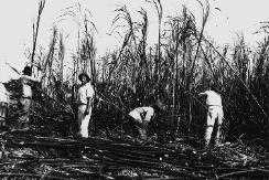 Cane field workers - whips